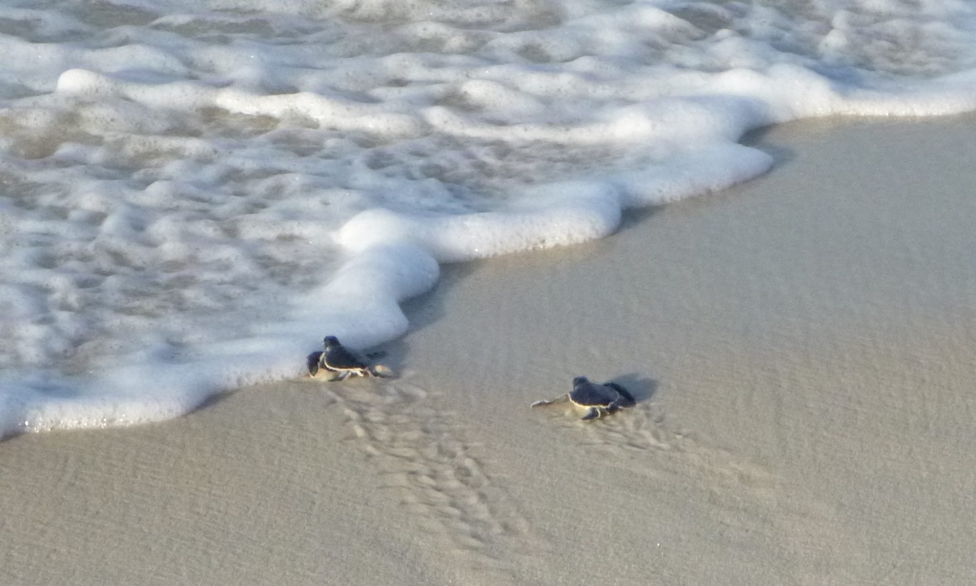 Panama City Beach Turtle Watch